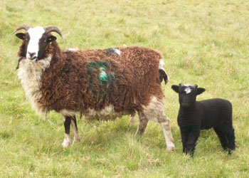 Sheep 001mod
