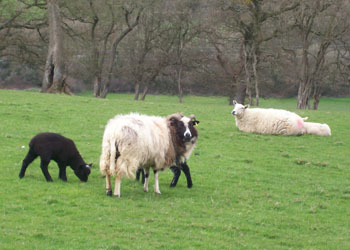 Sheep 003mod