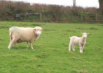 Sheep 004mod